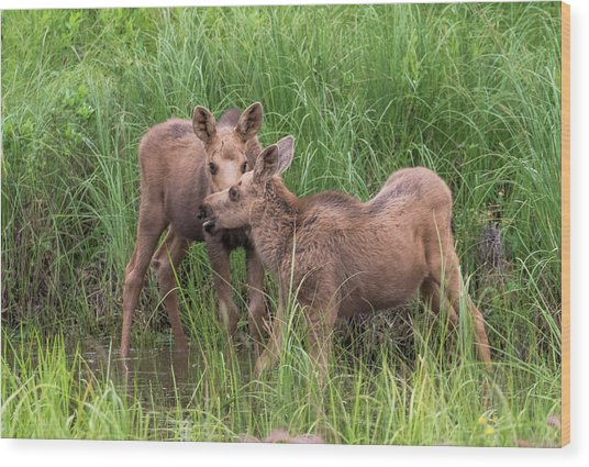 Twin Moose Playing In The Water Wood Print