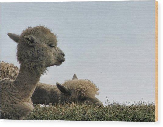 Two Alpaca Wood Print
