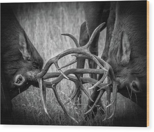 Two Bull Elk Sparring Wood Print