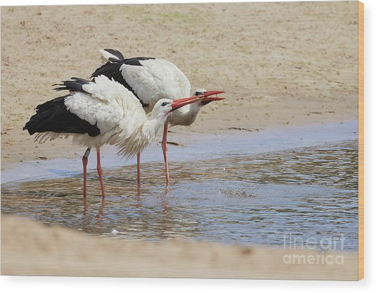 Two Drinking White Storks Wood Print