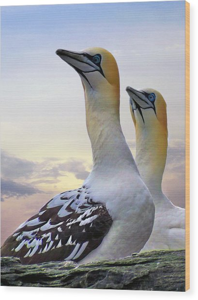 Two Gannets Wood Print