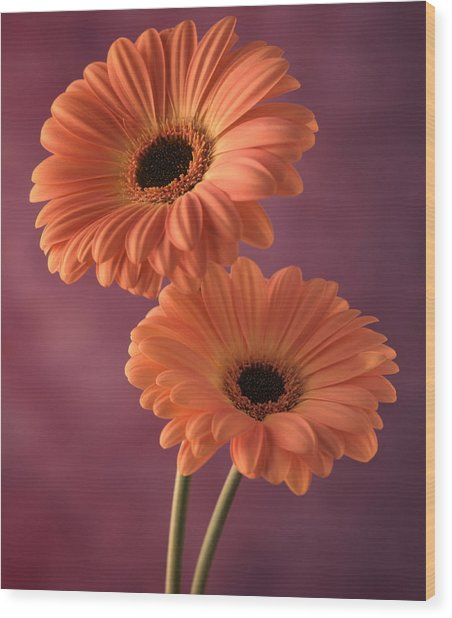 Two Gerberas 2 Wood Print by Joseph Gerges