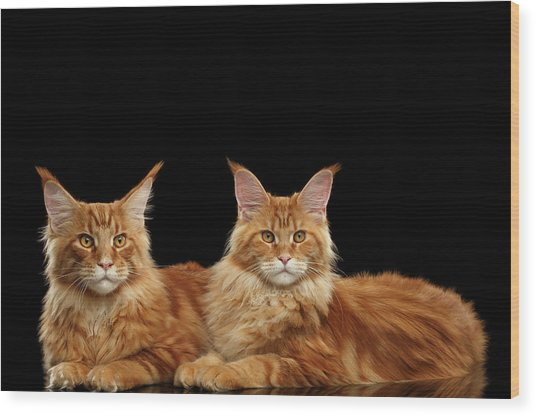 Two Ginger Maine Coon Cat On Black Wood Print