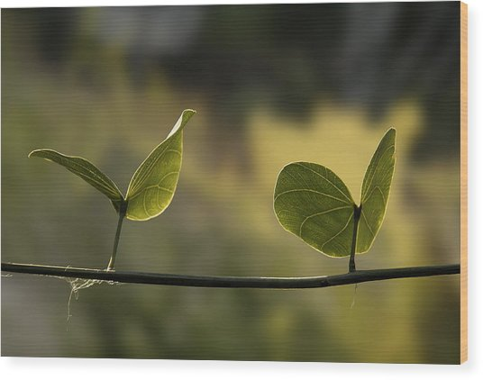 Two Green Butterflies Wood Print by Viktor Savchenko