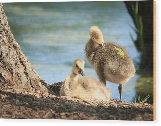 Two Little Goslings Wood Print