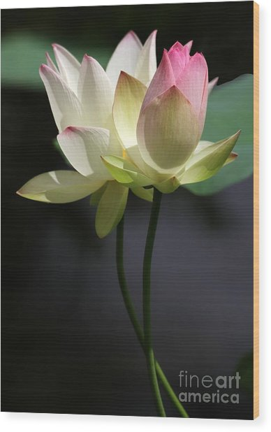 Two Lotus Flowers Wood Print