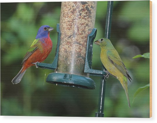 Two Painted Buntings Wood Print