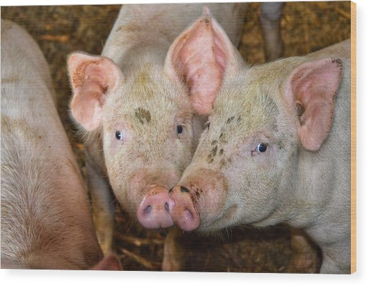 Two Pigs Wood Print
