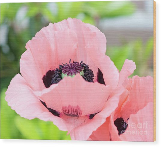Two Pink Poppies Wood Print