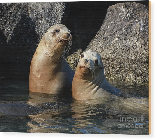 Two Quiet Sea Lions Wood Print
