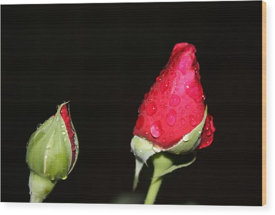 Two Red Rosebuds Wood Print by Paula Coley