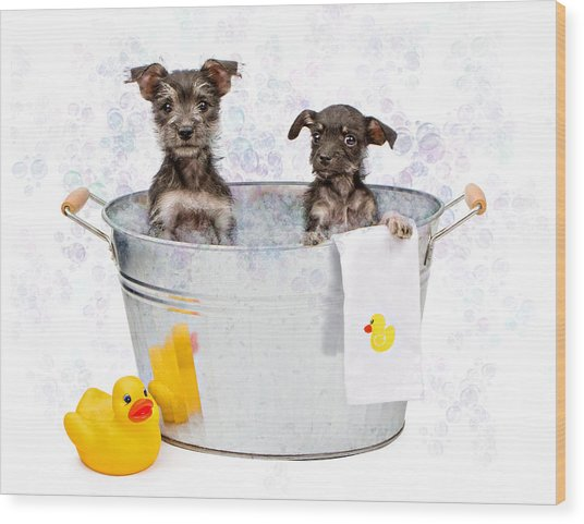 Two Scruffy Puppies In A Tub Wood Print