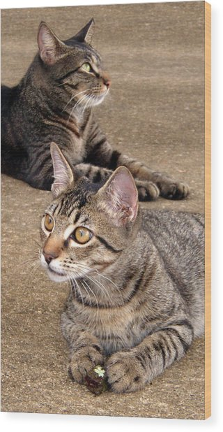 Two Tabby Cats Wood Print by Nicole I Hamilton