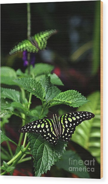Two Tailed Jay Butterflies- Graphium Agamemnon Wood Print