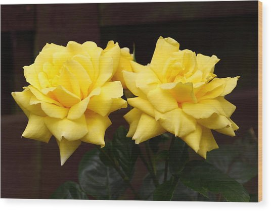 Two Yellow Rose Buds Wood Print by Stephen Athea