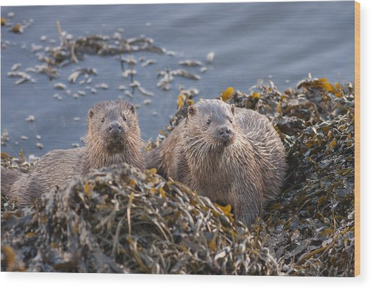 Two Young European Otters Wood Print