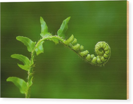 Unfurling Fern. Wood Print
