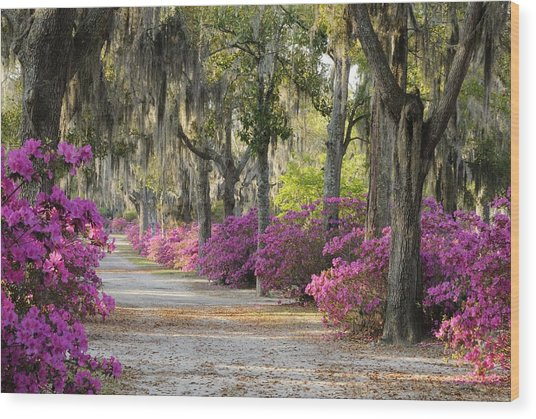 Unpaved Road With Azaleas And Oaks Wood Print