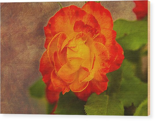 Variegated Beauty - Rose Floral Wood Print by Barry Jones