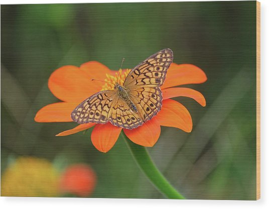 Variegated Fritillary On Flower Wood Print