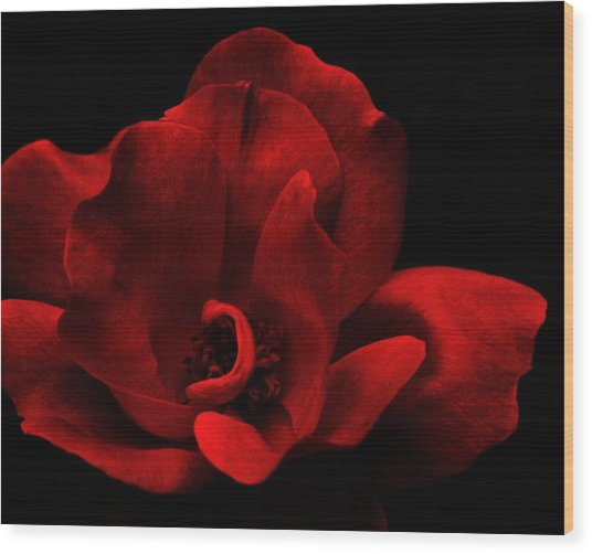 Velvet Rose Wood Print by Trudi Southerland