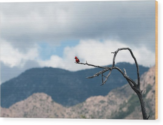 Vermillion Flycatcher Male Wood Print