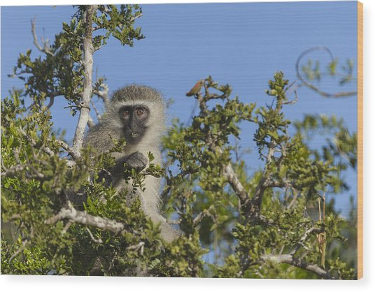 Vervet Monkey Perched In A Treetop Wood Print