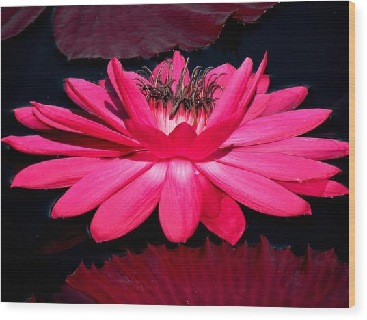 Very Pink Wood Print by Rosalie Scanlon