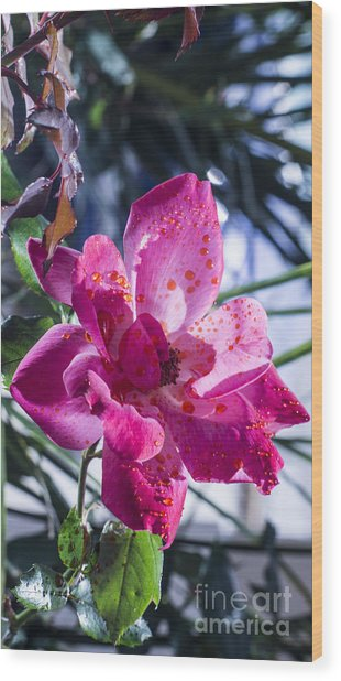 Vibrant Pink Rose Wood Print