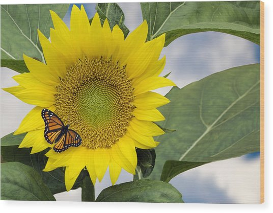 Viceroy And Sunflower Wood Print