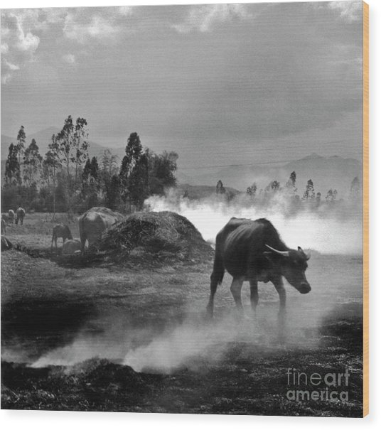 Vietnamese Water Buffalo  Wood Print