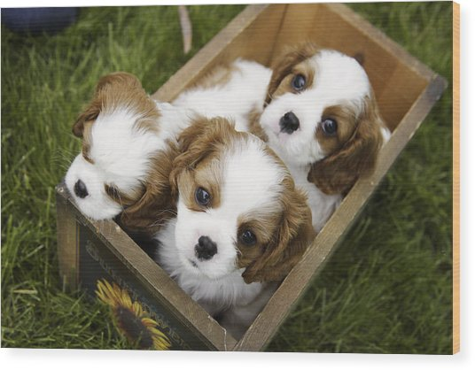 View From Above Of Three Puppies Wood Print