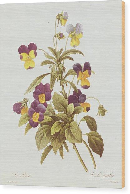 Viola Tricolour  Wood Print