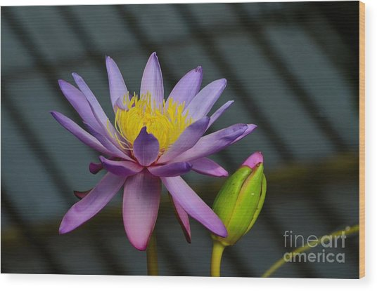 Violet And Yellow Water Lily Flower With Unopened Bud Wood Print