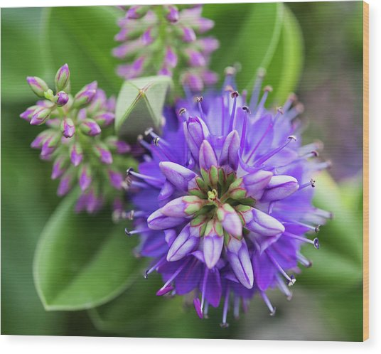 Violet Burst Wood Print