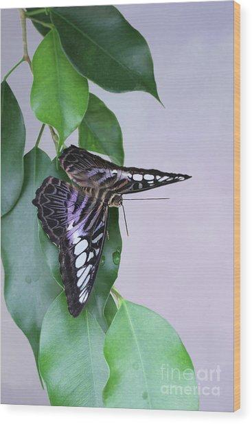 Violet Clipper Butterfly V2 Wood Print