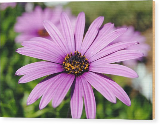 The African Daisy 1 Wood Print
