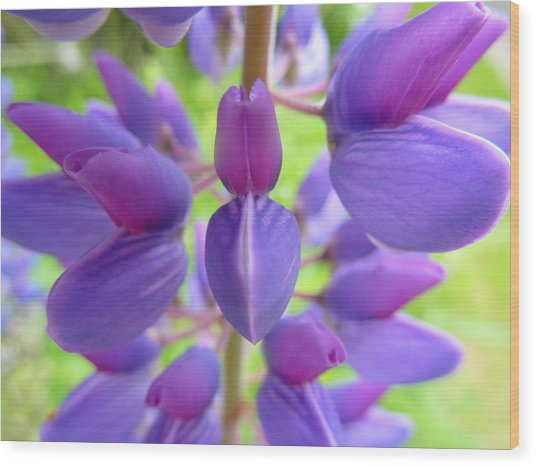 Violet Lupin Wood Print by Jeremy Wolff