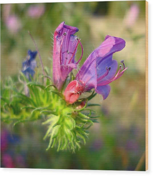 Viper's Bugloss 1 - Echium Vulgare Wood Print