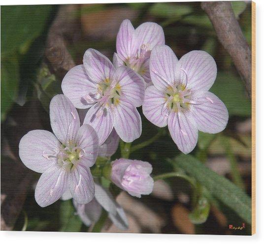 Virginia Or Narrowleaf Spring-beauty Dspf041 Wood Print