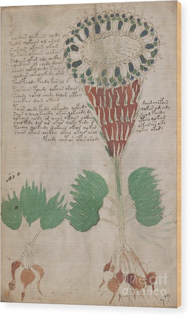 Voynich Flora 15 Wood Print