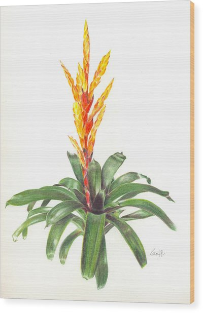 Vriesea 'dreamcicle Orange' Wood Print