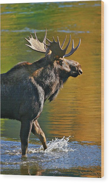 Wood Print featuring the photograph Wading Moose by Wesley Aston