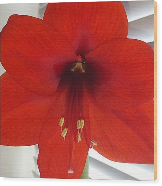 Waited 8 Weeks For My Giant Amaryllis Wood Print by Dante Harker