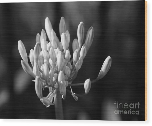 Waiting To Blossom Into Beauty - Bw Wood Print