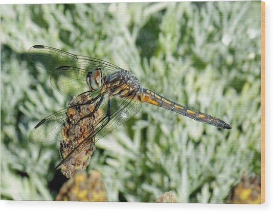 Warming-up - Darner Dragonfly Wood Print