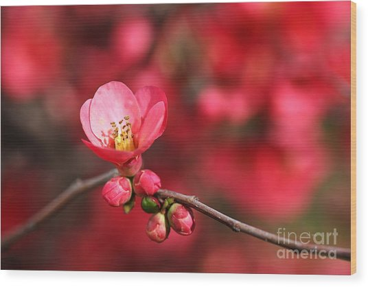 Warmth Of Flowering Quince Wood Print