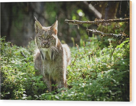 Watchful Mama Lynx Wood Print
