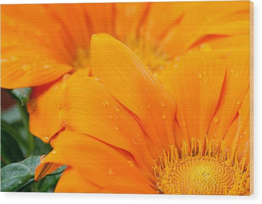Water Droplets On Orange Daisy Wood Print