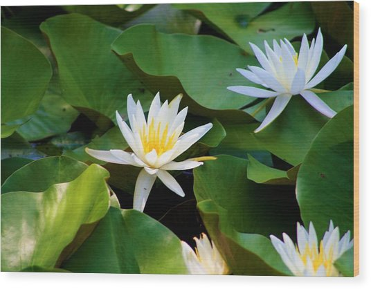 Water Lilies Wood Print by Dana Blalock